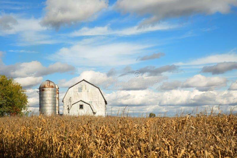 Graangebied vóór de oogst stock afbeelding