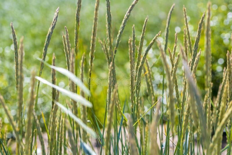 Graangewassen, wind royalty-vrije stock afbeeldingen