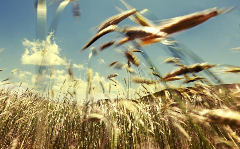 Graangewassengebied en wind stock fotografie