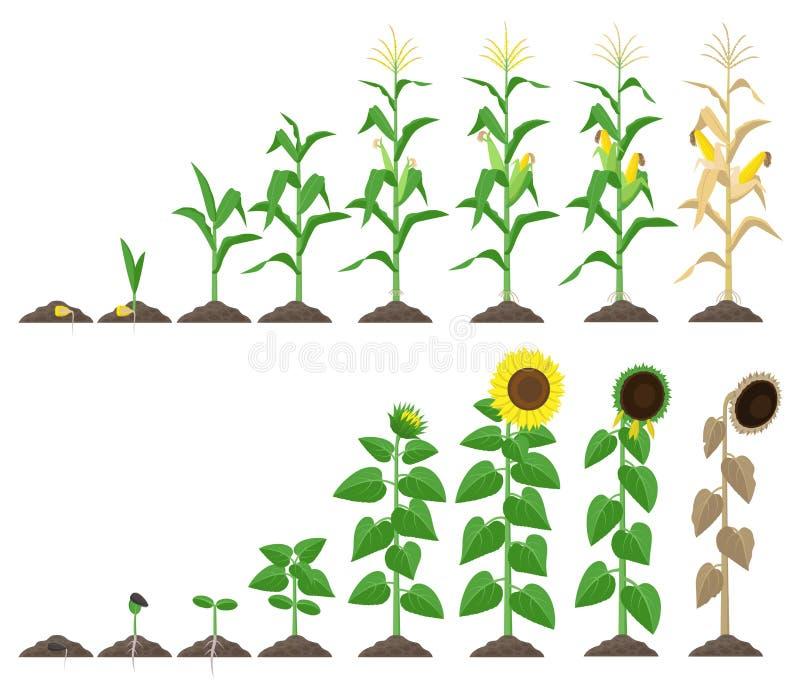 Graaninstallatie en van de zonnebloeminstallatie groeiende stadia vectorillustratie in vlak ontwerp Maïs en zonnebloem de groeist vector illustratie