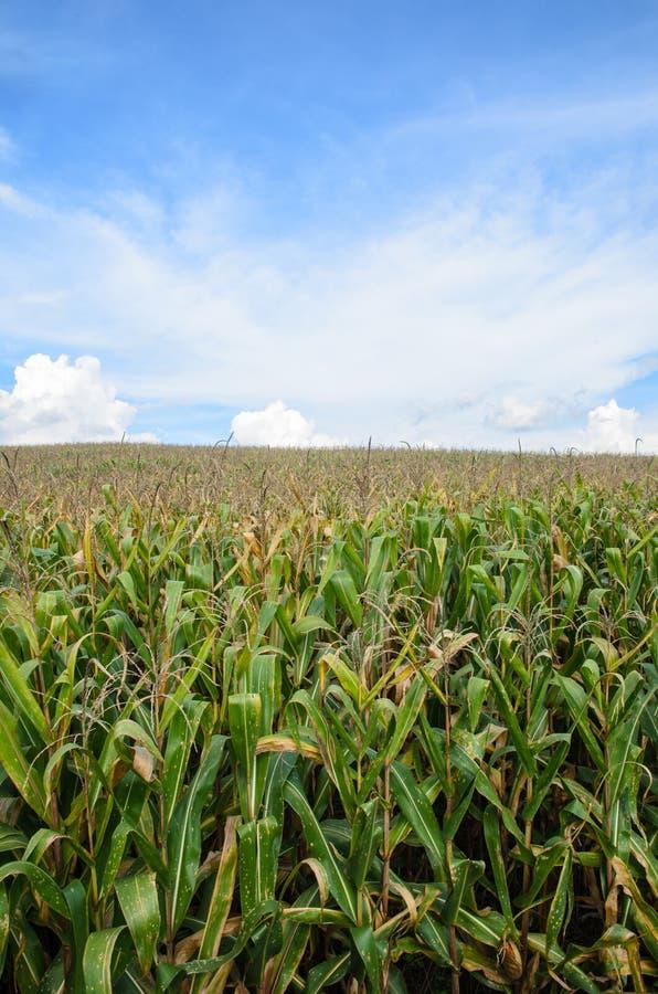 Graanlandbouwbedrijf met hemel stock foto