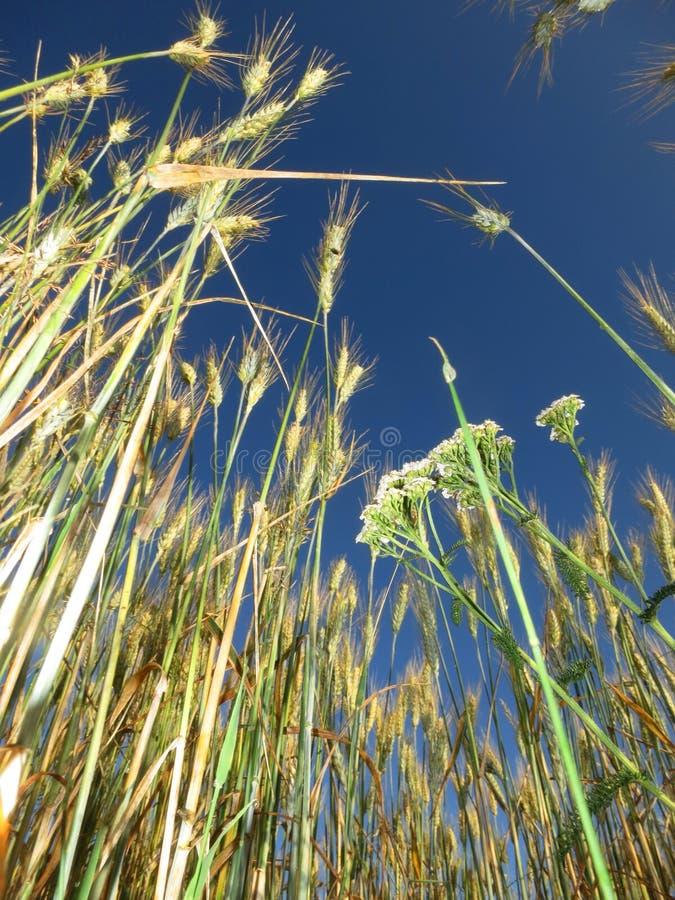 Graanveld in Frankrijk; Weath-Feld in Frankreich lizenzfreie stockfotos