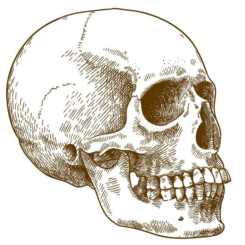 Grabado del ejemplo del cráneo humano stock de ilustración