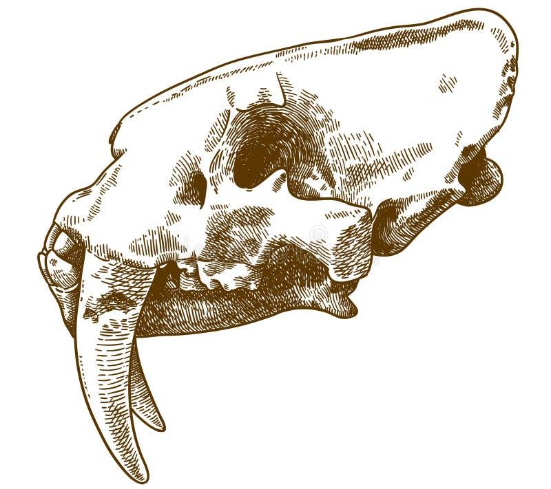 Grabado del ejemplo del cráneo del smilodon libre illustration