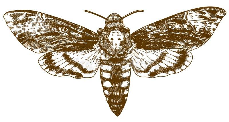 Grabado del ejemplo de dibujo del hawkmoth africano de la muerte-cabeza ilustración del vector