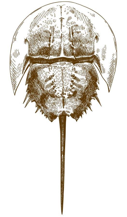 Grabado del ejemplo de dibujo de la opinión superior del cangrejo de herradura libre illustration