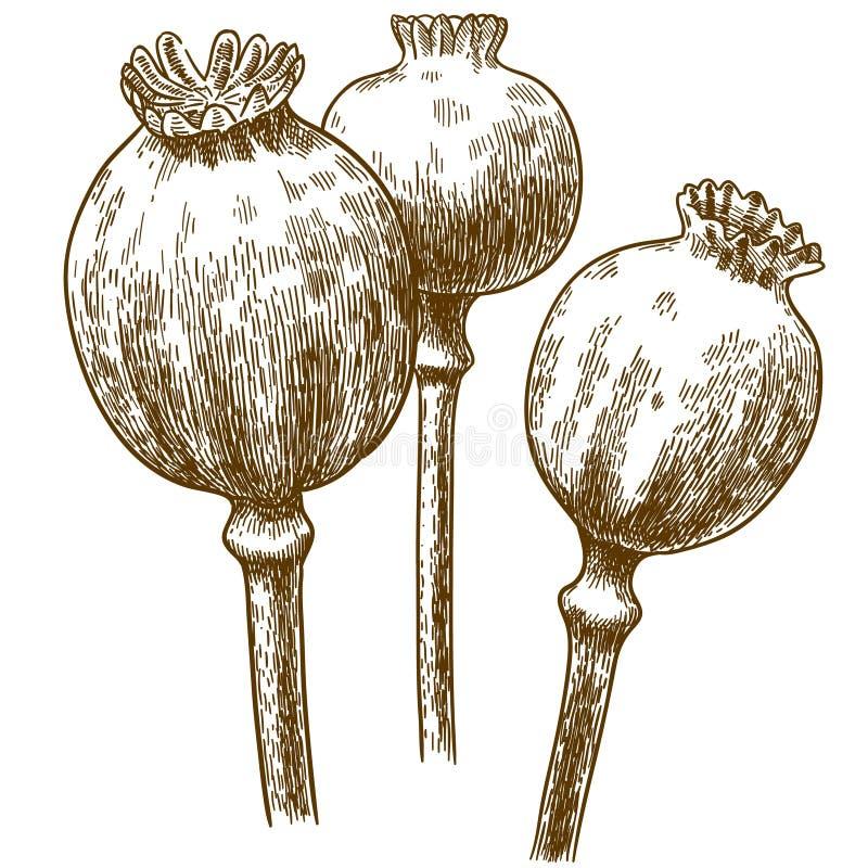 Grabado del ejemplo de la vaina de tres amapolas libre illustration