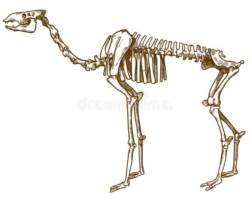 Grabado del ejemplo del esqueleto del camello ilustración del vector