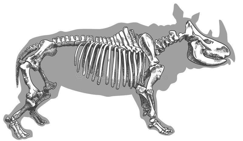 Grabado del ejemplo del esqueleto del rinoceronte libre illustration
