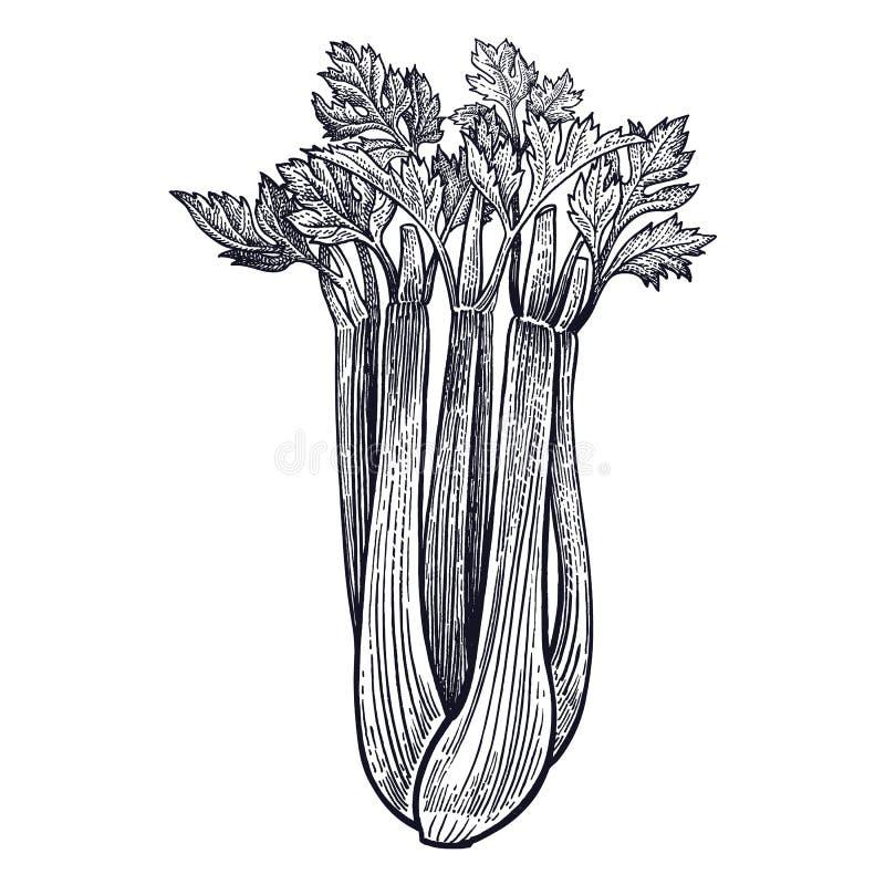 Grabado del vintage del apio libre illustration