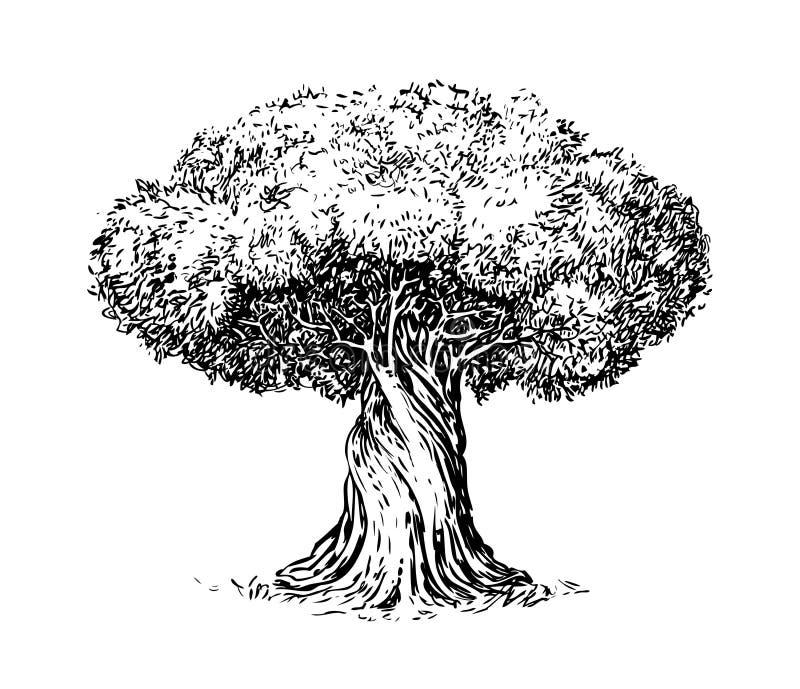 Grabado viejo del olivo Ecología, ambiente, bosquejo de la naturaleza Ejemplo del vector del vintage stock de ilustración