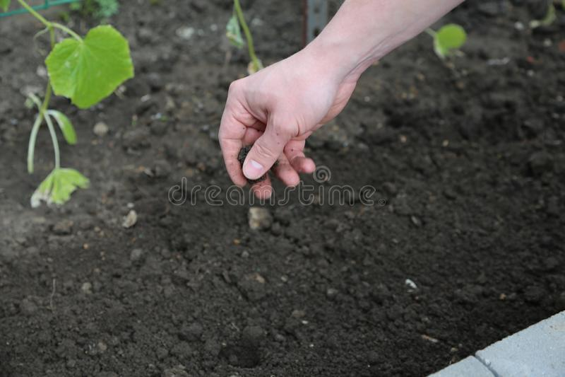 Grabben med svart jord i en hand Male hand close upp en säng på en bakgrund arkivfoto