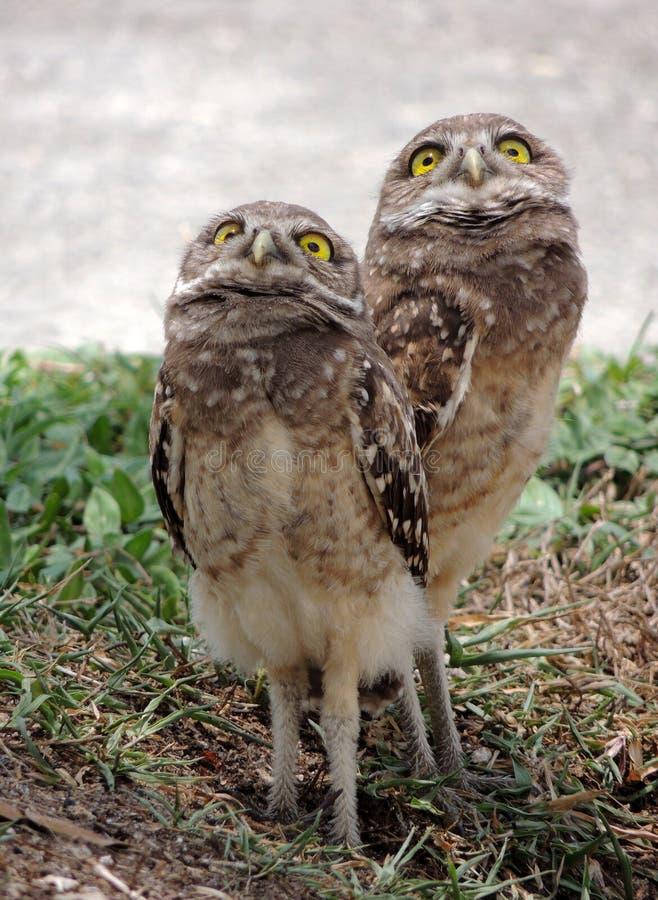 Graben von Owl Chicks lizenzfreies stockbild