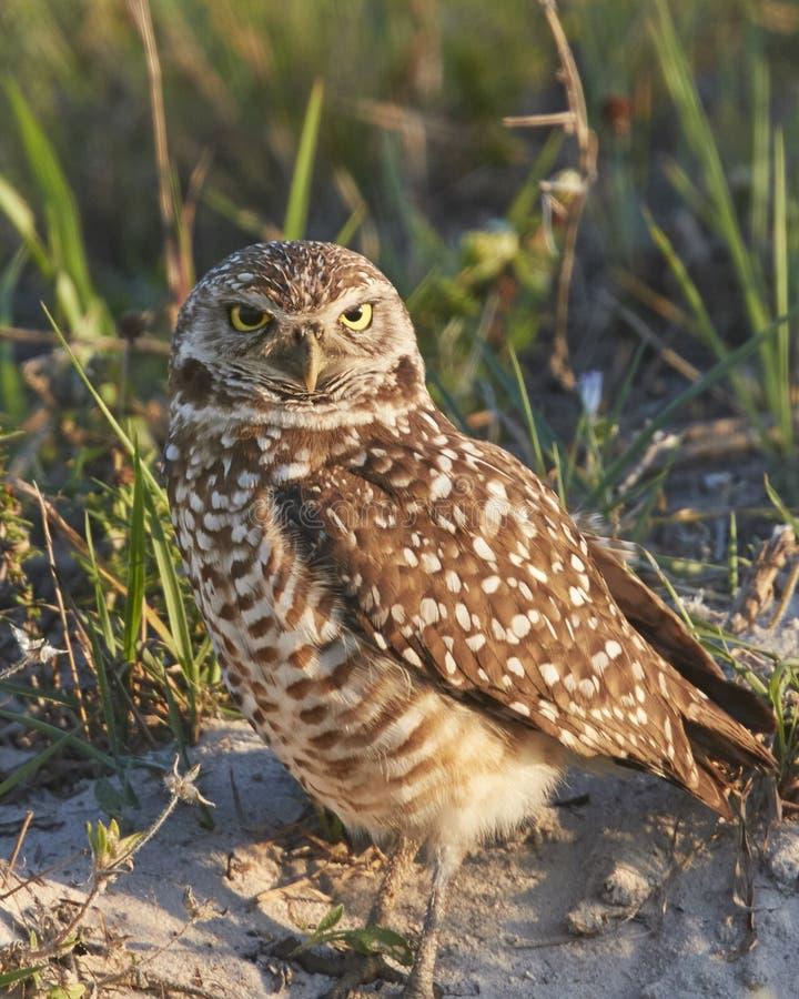 Graben von Owl Standing By Burrow lizenzfreie stockbilder