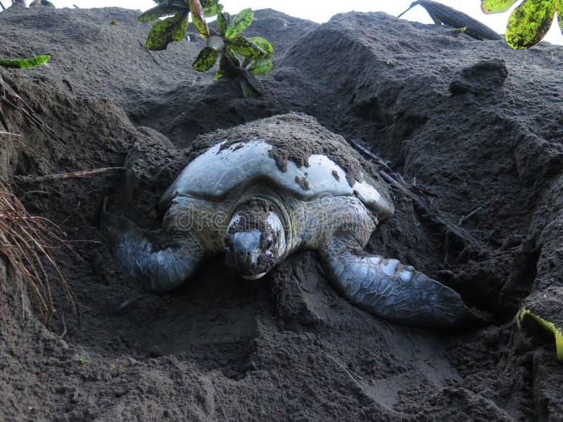 Grabendes Nest der Meeresschildkröte im Sand lizenzfreie stockfotografie