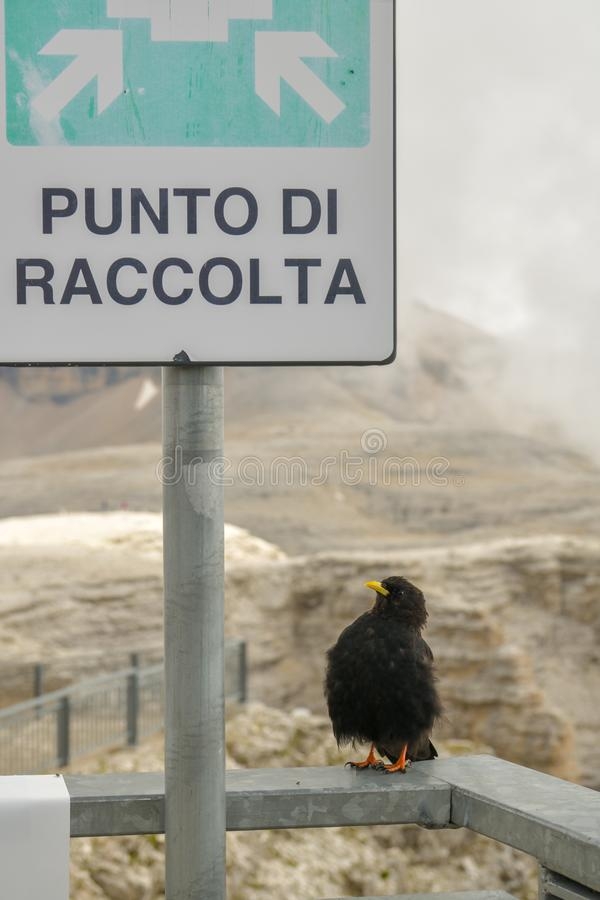 Gracchio alpino che aspetta al punto di incontro gli altri choughs in AR immagine stock libera da diritti