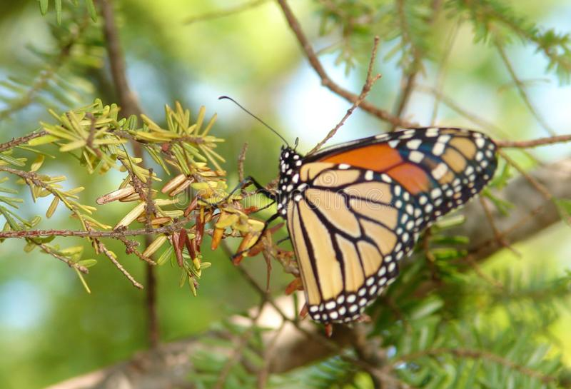 Graceful Beauty: Elegant Monarch in Mid-Michigan. A beautiful monarch butterfly captured as it lands on a branch on a warm summer day in Mid-Michigan stock photos