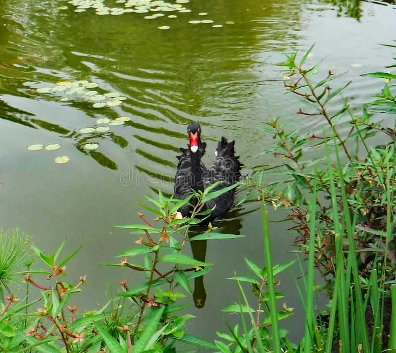Graceful Black Swan, Water Ripples, and Lily Pads in a Large Pond stock photo