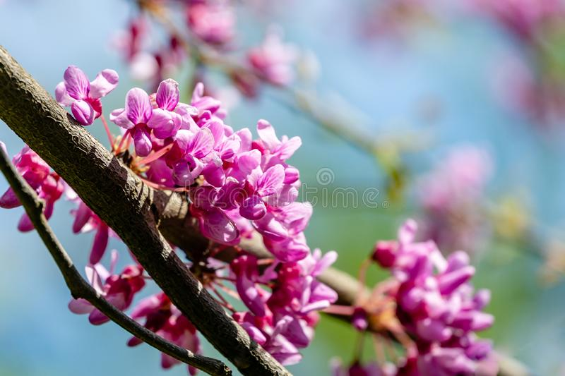 Graceful branches of blossom purple flowers Eastern Redbud, or Eastern Redbud Cercis canadensis in spring garden. Inflorescences on nice garden bokeh royalty free stock images