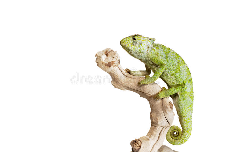 Download Graceful Chameleon stock photo. Image of tail, wildlife - 27168742