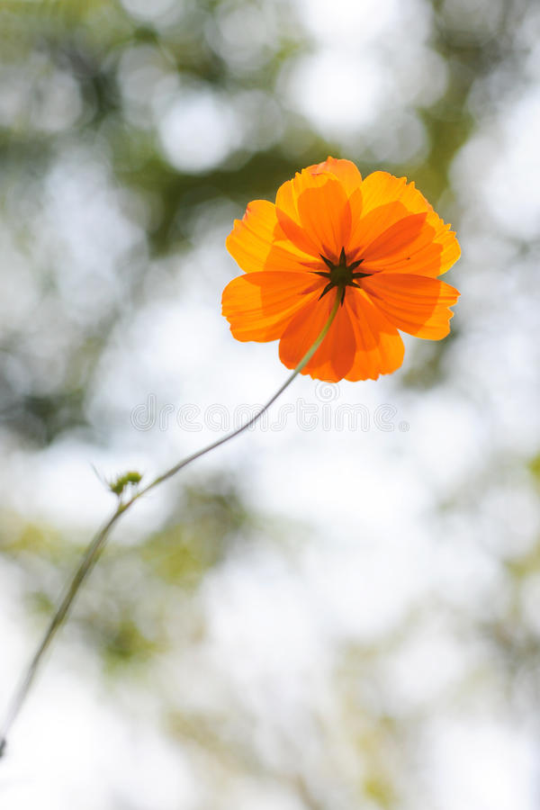 Graceful Cosmos Royalty Free Stock Photography