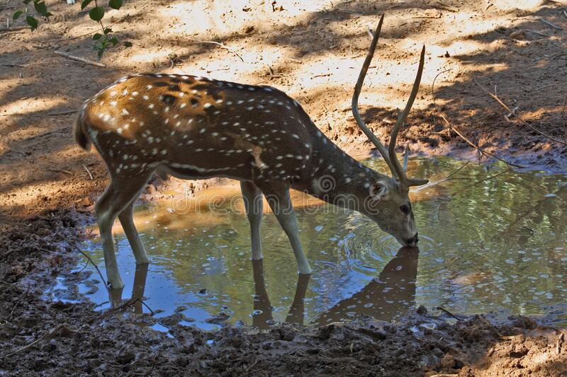 A graceful deer on a watering place stock photos