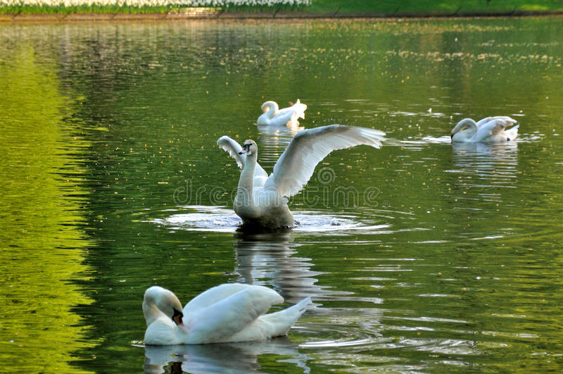 Download Graceful Fluttering Swan With 3 Others Swans Stock Image - Image: 24613553