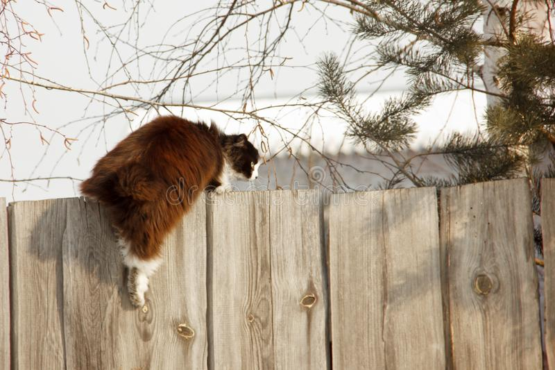 Graceful furry cat climbs the fence. Black cat with a long coat, white collar and serious snout. Motto is only forward. Graceful furry cat climbs the fence royalty free stock photo
