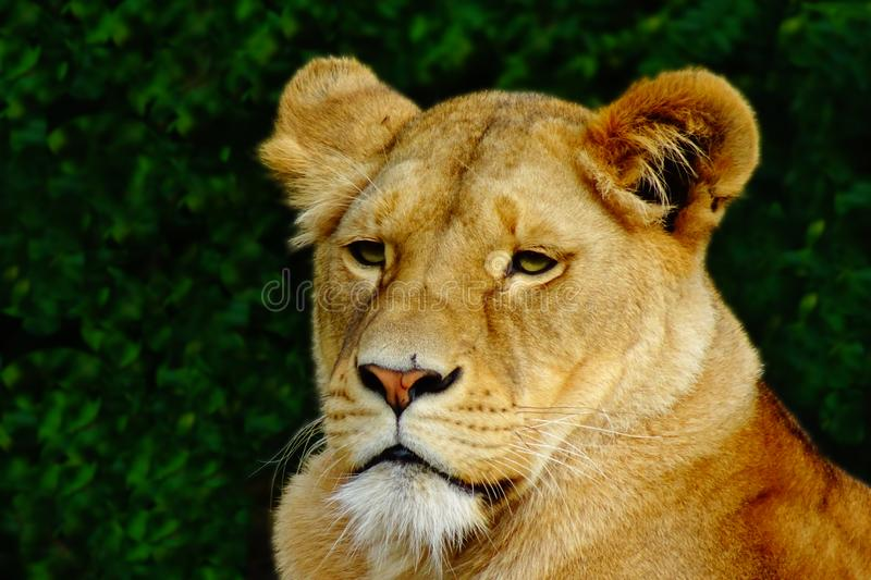 Portrait of a female lion waiting for prey royalty free stock image