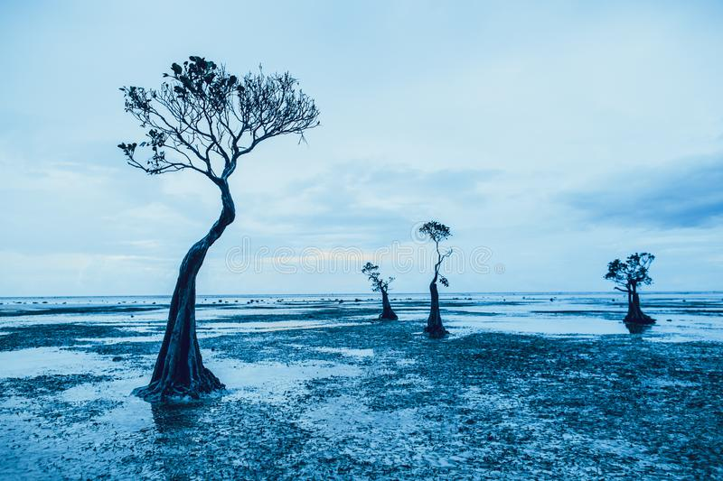 Graceful silhouettes of the mangrove trees. Sumba. royalty free stock image