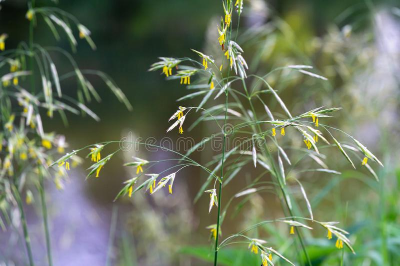 Graceful spikelets of Awnless brome Bromopsis inermis on meadow near river - gentle summer natural background stock image