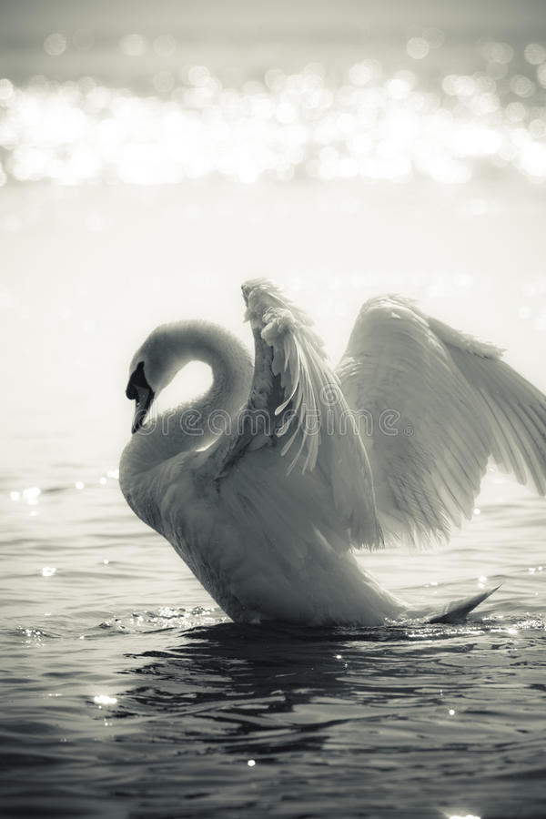 Free Graceful Swan On A Lake In Black And White Royalty Free Stock Photo - 15785065