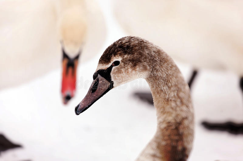 Download Graceful swans stock photo. Image of fowl, closeup, goose - 13319506