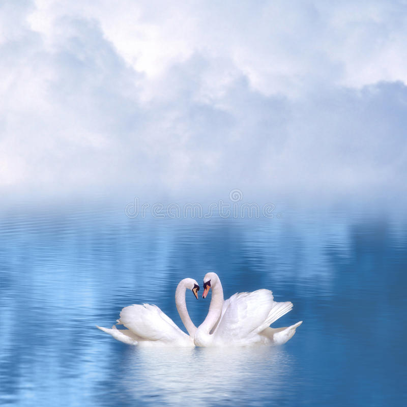 Graceful swans in love royalty free stock photography