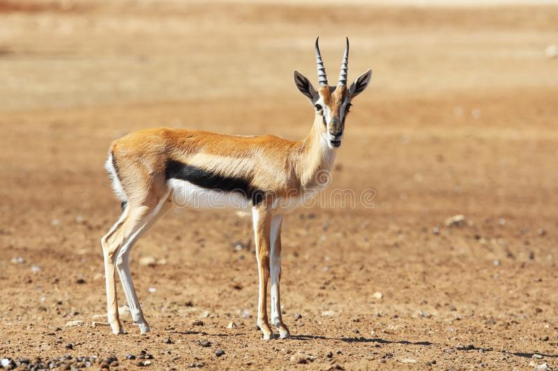A graceful  Thomson Gazelle. Beautiful posing for a photograph royalty free stock images