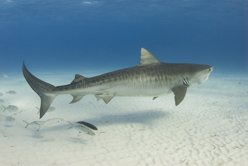 Graceful Tiger Shark. A Tiger Shark (Galeocerdo cuvier) swims along the shallow water as a school of fish follows