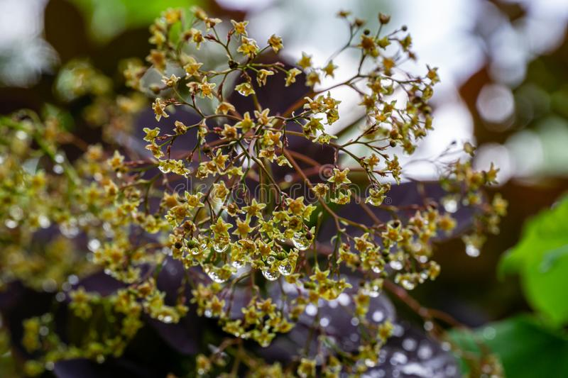 Graceful tiny flowers of Cotinus coggygria Royal Purple Rhus cotinus, the European smoketree covered with raindrops look like je. Wels on beautiful boken. Nature stock photos