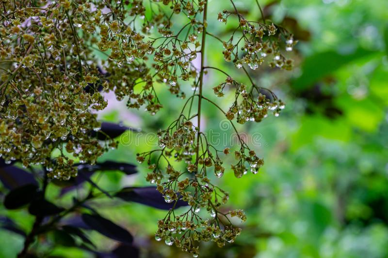 Graceful tiny flowers of Cotinus coggygria Royal Purple Rhus cotinus, the European smoketree covered with raindrops. Look like jewels on green boken. Nature as stock photo