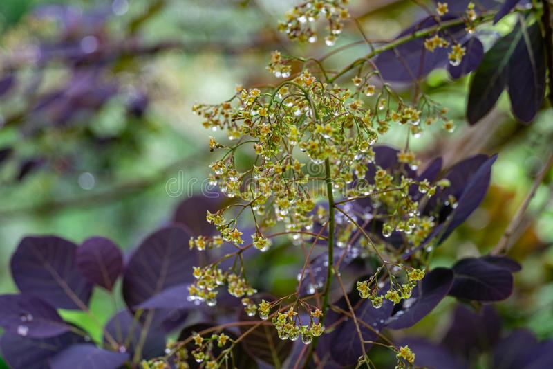 Graceful tiny flowers of Cotinus coggygria Royal Purple Rhus cotinus, the European smoketree covered with raindrops. Look like jewels with purple leaves. Nature stock image
