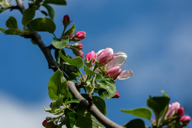Graceful twig of apple tree with delicate pink blossoms against clean blue sky in spring garden. Graceful twig of apple tree with delicate pink blossoms against stock photos