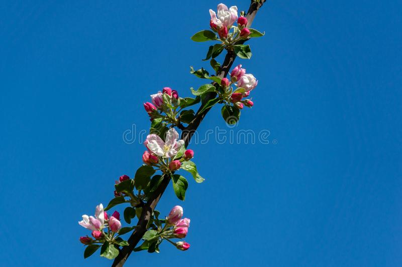 Graceful twig of apple tree with delicate pink blossoms against clean blue sky in spring garden. Selective focus. There is a place for your text royalty free stock photo
