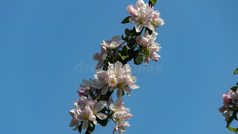 Graceful twig of apple tree with delicate pink blossoms against clean blue sky in spring garden. Selective focus. There is a place for your text royalty free stock photography