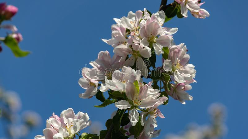 Graceful twig of apple tree with delicate pink blossoms against clean blue sky in spring garden. Selective focus stock photos