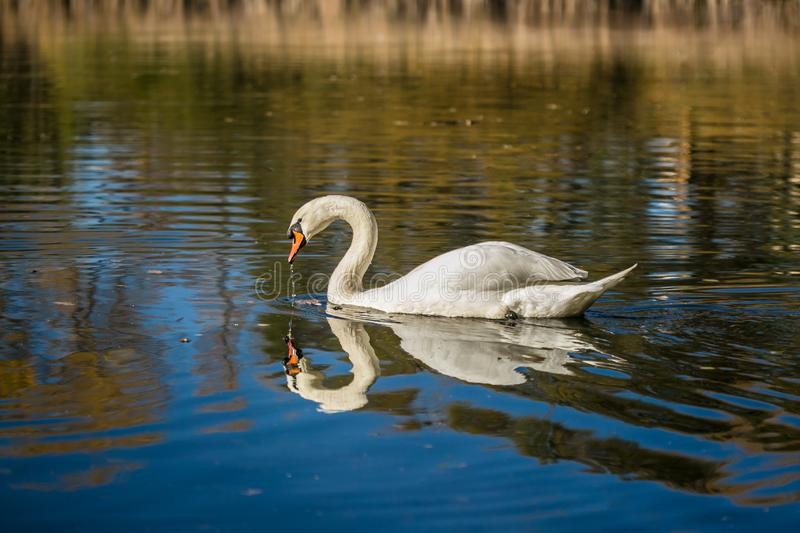 Graceful white mute swan swimming in a blue lake. Graceful white mute swan with orange beak swimming in blue lake drinking, reflection in water, waves, bright royalty free stock image