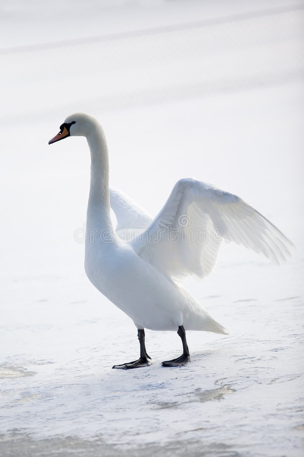 Graceful White Swan Royalty Free Stock Photos