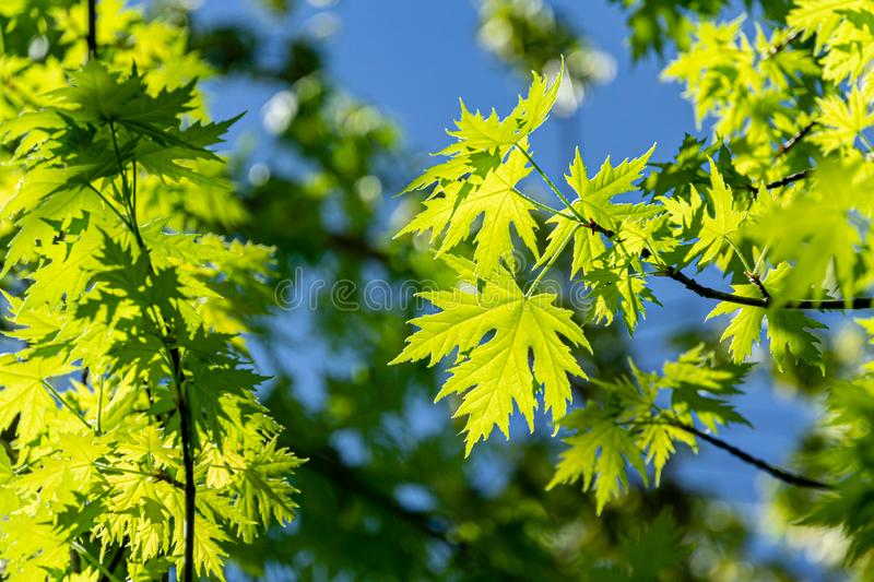 Graceful young green leaves of Acer saccharinum  against the sun on blue sky background. Nature concept. For spring design royalty free stock photography