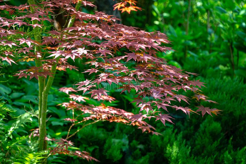 Graceful young red leaves of Japanese Maple, Acer palmatum Atropurpureum tree with purple leaves. In beautiful spring garden against backdrop of greenery royalty free stock image