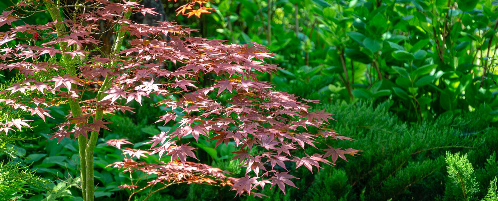 Graceful young red leaves of Japanese Maple, Acer palmatum Atropurpureum tree with purple leaves. In beautiful spring garden against backdrop of greenery stock image