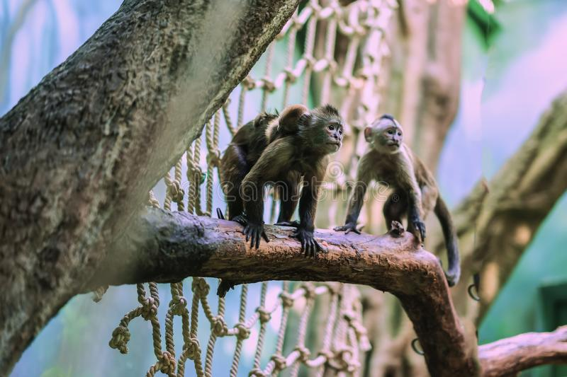 Gracile capuchin monkeys, genus Cebus, family on tree branch with small sleeping cub, mother parental care in order to stock photography