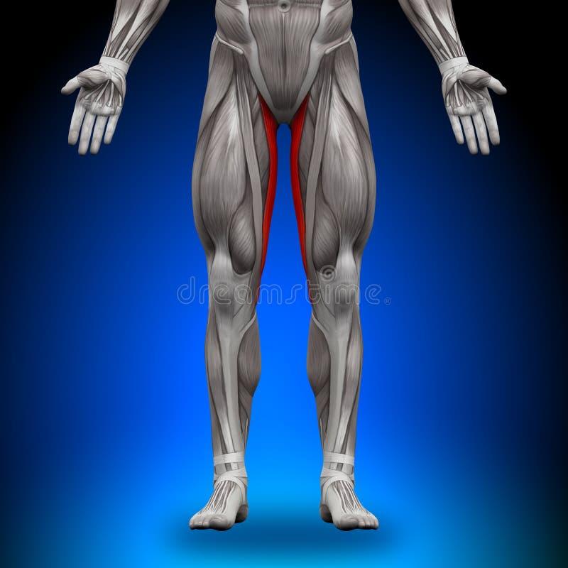 Gracilis - músculos da anatomia ilustração royalty free